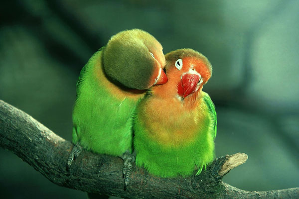 Lilian's lovebirds
