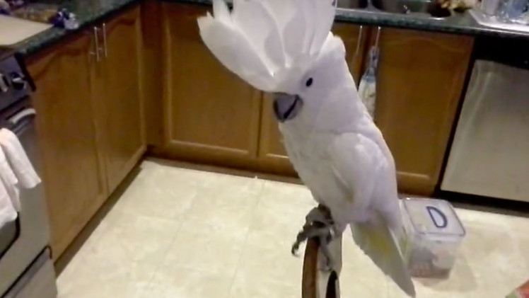 SINGING Umbrella Cockatoo