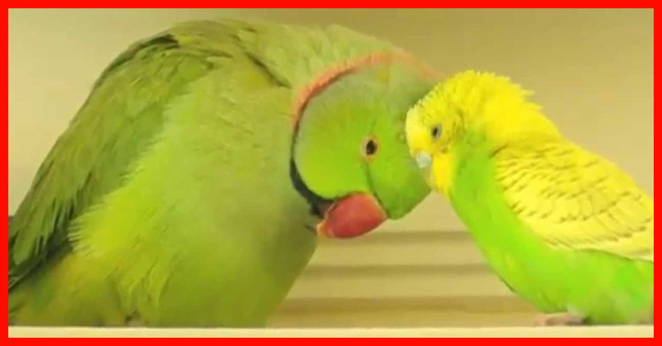 Parakeet and Indian Ringneck in LOVE